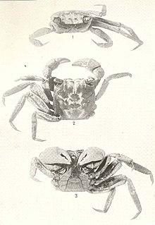 <i>Armases</i> genus of crustaceans