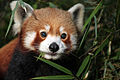 Face of a red panda (8087935024).jpg