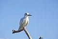 Fairy Tern, Ducie Island.jpg