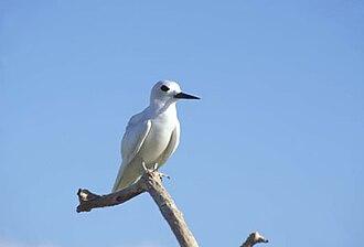 Ducie Island - Image: Fairy Tern, Ducie Island