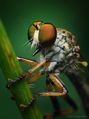 Female Ommatius Robber Fly.png