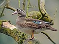 Female Wood Duck (Aix sponsa), Parc du Rouge-Cloître, Brussels.jpg