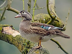Female Wood Duck (Aix sponsa), Parc du Rouge-Cloître, Brussels.jpg