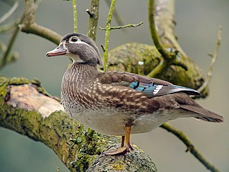 Wood duck - Female wood duck