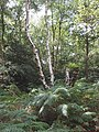 Ferns and birch trees on Littleworth Common - geograph.org.uk - 34473.jpg