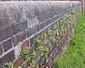 Ferns on wall, near Meltham Mills - geograph.org.uk - 92387.jpg