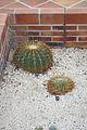 Ferocactus Histrix & Mexico (2) (11983294483).jpg