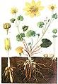 Ficaria verna, Lehrbuch der Botanik (Schmeil 1911, Tafel 5, HG weiß, unbeschriftet).jpg