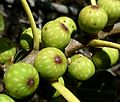 Ficus ingens, vye, Eugene Marais Park, c.jpg