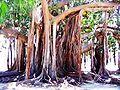 Ficus magnolioides(Piazza MarinaPA).jpg