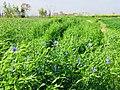 Field of flax 2018-05-02.jpg