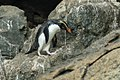 Fiordland Crested Penguin - Stewart Island - New Zealand (39070132111).jpg