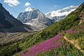 Fireweed in the Lake Louise Valley.jpg