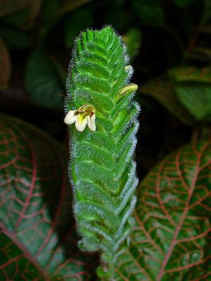 Fittonia albivenis - Image: Fittonia albivenis 002