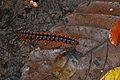 Flat-backed Millipede (Paradoxosomatidae) (8070716128).jpg