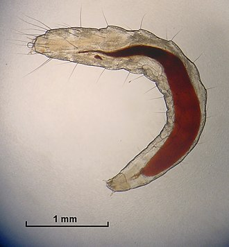 Cat flea - Flea larva showing red ingested blood; head is positioned on lower side of image