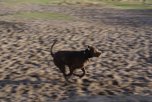 Flickr - Laenulfean - running dog