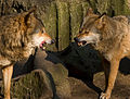 Flickr - Laenulfean - wolves.jpg