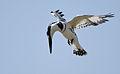 Flickr - Rainbirder - Pied Kingfisher (Ceryle rudis) male.jpg