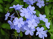 plumbago auriculata wikipedia. Black Bedroom Furniture Sets. Home Design Ideas