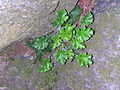 Flickr - brewbooks - Unidentified saxifrage.jpg