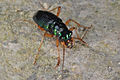 Flickr - ggallice - Tiger beetle.jpg