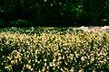 Flores do cerrado sobre o Rio Jatobá.jpg
