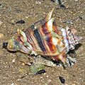 Florida Crown Conch (Melongena corona) (8386471216).jpg