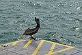 Florida Pelican on dock on Bradenton Beach.jpg