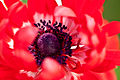 "Flower, Anemone ""De Caen Double"" - Flickr - nekonomania.jpg"