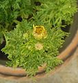 Flower Buds of Chrysanthemum 2.JPG