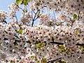 Flower viewing custom, Japan; April 2014 (05).jpg