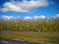 Flowering Sugarcane Field (4681648429).jpg