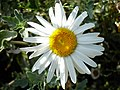 Flowers of Iran گلهای ایران 23.jpg