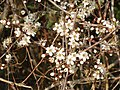 Flowers of a blackthorn hedge, near Oddington - geograph.org.uk - 386610.jpg