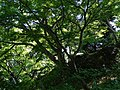 Foliage in East Gardens - Imperial Palace Grounds - Tokyo - Japan - 01 (47924060617).jpg