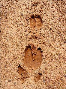 https://upload.wikimedia.org/wikipedia/commons/thumb/5/57/Foot_tracks_of_deer_Kambalakonda_Visakhapatnam.JPG/220px-Foot_tracks_of_deer_Kambalakonda_Visakhapatnam.JPG