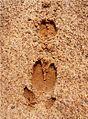 Foot tracks of deer Kambalakonda Visakhapatnam.JPG