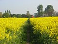 Footpath through oil-seed rape, Ruscombe - geograph.org.uk - 799215.jpg
