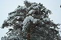 Forest near Ob river in Altai Region 25.JPG