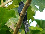 Fork-tailed Drongo-Cuckoo (Surniculus dicruroides).jpg