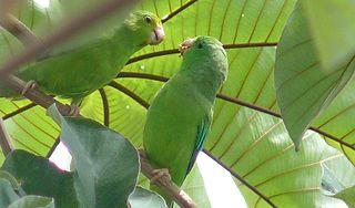 Green-rumped parrotlet species of bird