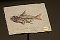 Fossil of a tiny fish (25306127578).jpg