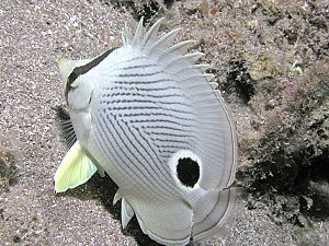 Deception in animals - Four-eye butterflyfish showing its concealed eye and false eyespot near the tail