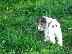 Fox Terrier Wire Hair