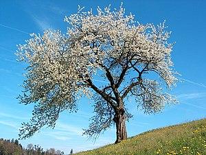 A Wild Cherry (Prunus avium) in flower.