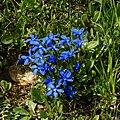 Frühlings Enzian Gentiana verna 02.JPG