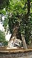 France, Paris, Square René Viviani le plus vieil arbre de Paris.jpg