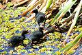 Frango-d'água-azul filhote (Porphyrio martinica). (9436458562).jpg
