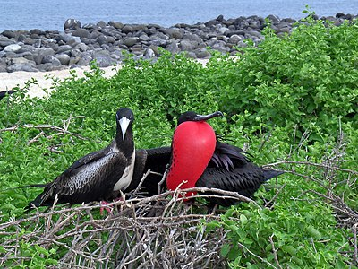 Magnificent frigate birds (Fregata magnificens) in processions of conquest